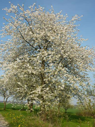 arbre-au-printemps